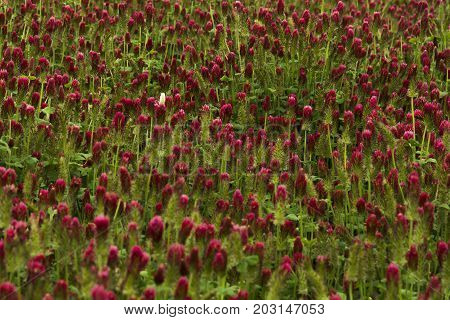 One white clover in a field of red clover