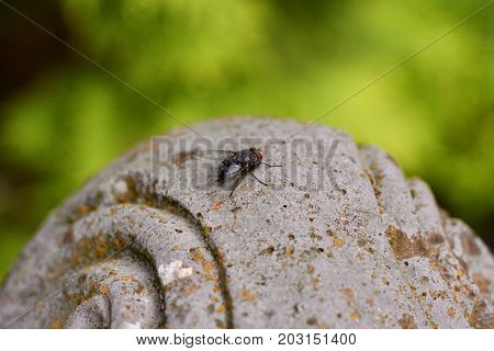 Beautiful meat fly (Sarcophaga carnaria) sitting on a stone