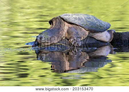 Large Common Snapping Turtle Basking On A Rock - Ontario, Canada