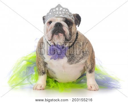 spoiled female dog wearing a tiara on white background