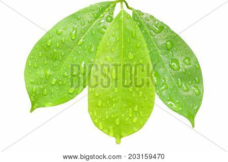 drop of water on leaf in white background