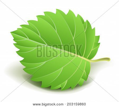 Green fresh leaf with thin streaks, uneven wavy edge and small stem isolated cartoon vector illustration on white background. Piece of tree or bush foliage. Plant part where photosynthesis goes.