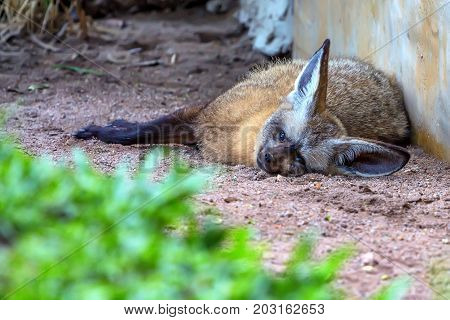 Close up cute bat-eared fox or Otocyon megalotis lying on ground