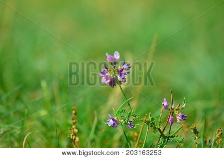 Pink Purple Blossom In Meadow, European Flower. Fresh Green Grass In The Evening Meadow