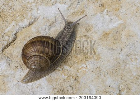 Burgundy Snail (Helix pomatia) on chalk Rock