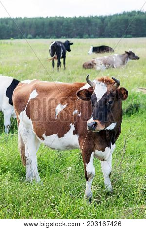 Brown and white ox with horns on a summer pasture