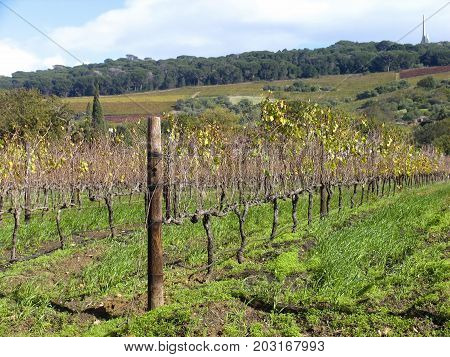GRAPE FARM, ROWS OF GRAPE VINES IN THE FORE GROUND, WITH TREES IN  THE BACK GROUND