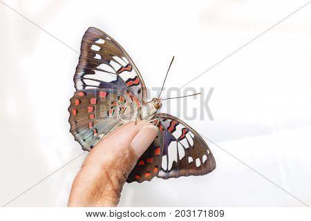 Common Gaudy Baron Butterfly ( Euthalia Lubentina ) On Human Finger