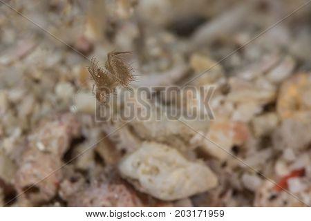 The very tiny hairy shrimp (phycocaris simulans)