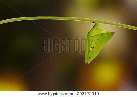 Chrysalis Of Common Gaudy Baron Butterfly ( Euthalia Lubentina ) On Twig