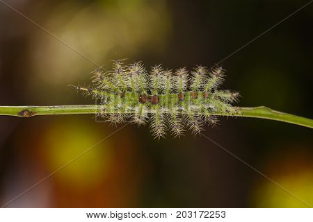 Caterpillar Of The Common Gaudy Baron Butterfly ( Euthalia Lubentina ) Walking On Twig
