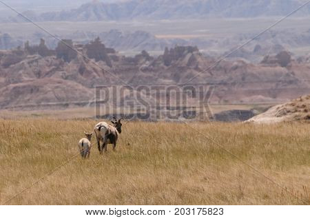 Mother and calf bighorn sheep at the edge of a cliff in Badlands National Park.