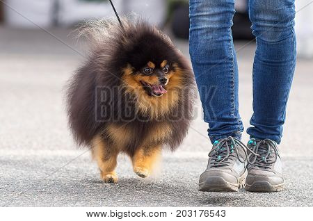 Spitz ismall dog runs and looks at the owner's shoes. Space under the text. 2018 year of the dog in the eastern calendar Concept: parodist dogs, dog friend of man, true friends, rescuers.