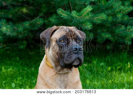 Closeup portrait of Little puppy (age five months)  of a rare breed of dog  South African Boerboel (South African Mastiff)