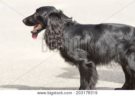 American Cocker Spaniyel. Space under the text. 2018 year of the dog in the eastern calendar Concept: parodist dogs, dog friend of man, true friends, rescuers.
