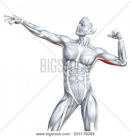 Conceptual 3D illustration chest fit strong human anatomy or anatomical and gym muscle isolated, white background for body health with tendons, abs, biological, fitness medical muscular system