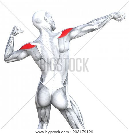 Conceptual 3D illustration back fit strong human anatomy or anatomical and gym muscle isolated, white background for body health with biological tendons, spine, fitness medical muscular system