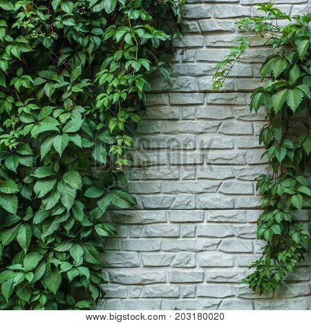Brick Wall Or Fence With Wild Grapes. Vintage Brick Wall With Natural Floral Frame. Wild Grape On Th