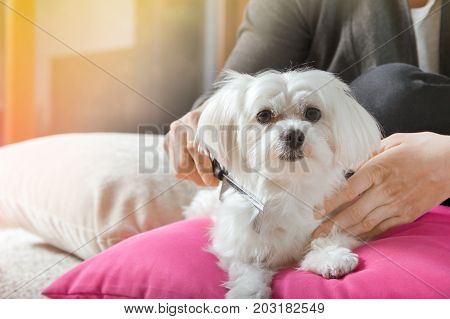 Woman Brushes Hair Of Her White Maltese Dog