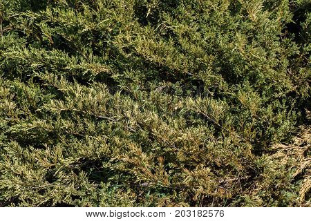 Texture Of Green Foliage, Nature Background Of Leaves. Green Coniferous Branches As A Natural Backgr
