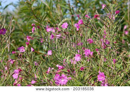 Great hairy willowherb (Epilobium hirsutum) in wild nature. Plant with small pink flowers