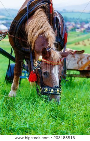 Brown Horse in a land and beautiful harness
