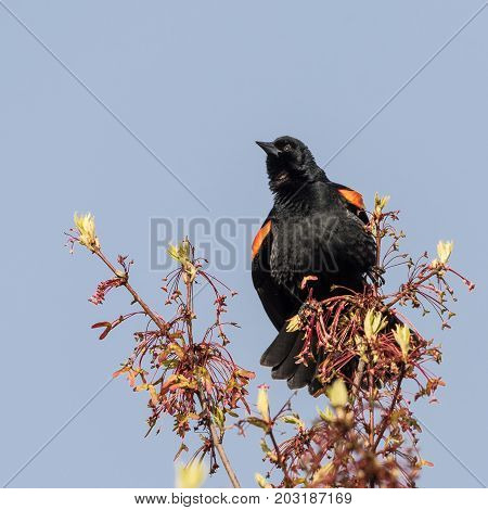 Red-winged Blackbird Perched on Budding Tree Branch