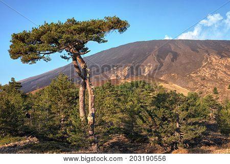 big pine and Etna Volcano, Sicily