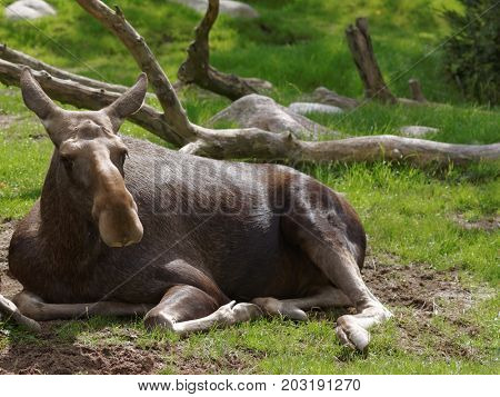 Moose lying on the grass