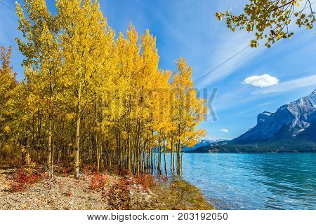 Journey to the Rocky Mountains. Magnificent turquoise Abraham Lake in a flood. The flooded coastal gold birchwoods. The concept of ecological and active tourism