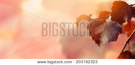 Beautiful Autumn Background with Autumn Red Leaves and Sun Beam on Background. Autumn Seasonal Concept Horizontal Copy Space