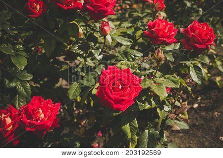 Shrub Rose. Shrub Roses.