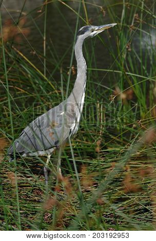 Grey heron on a pond
