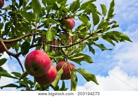 Closeup of a red apples on a tree at orchard in Serbia