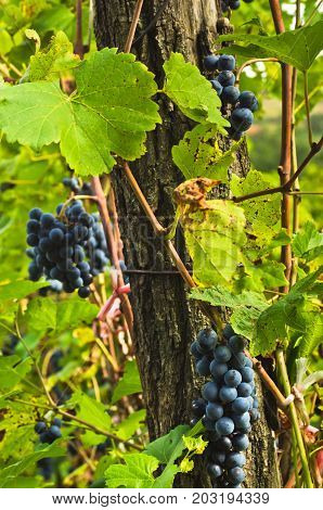 Closeup of a red grapes on a vine at vineyard in Serbia