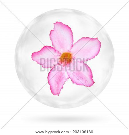 Desert Rose Tropical Flower With Water Drop In The Bubble. Isolated On White Background. Clipping Pa