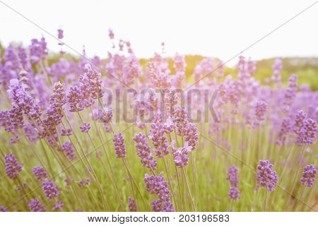 Lavender Flowers - Sunset Over A Summer Purple Lavender Field . Bunch Of Scented Flowers In The Lava