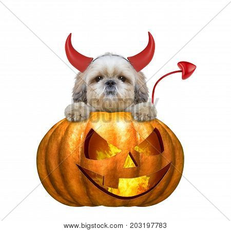 halloween pumpkin witch cute shitzu dog - isolated on white background
