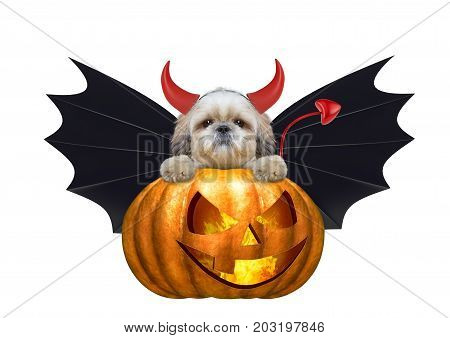 halloween pumpkin witch cute shitzu dog in bat costume - isolated on white background