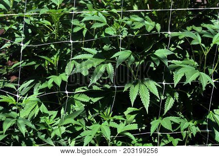 Image of weed growing and Plant netting to keep Plants Up.
