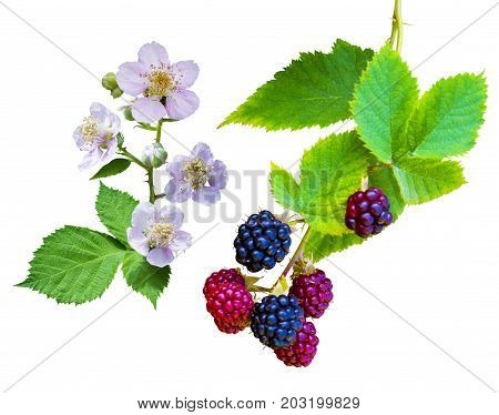 raspberry blossoming branch. Strawberry blossom with leaves isolated on white. Raspberries branch with peach flowers. Bunch of blackberries. blackberry with leaf isolated on white background closeup