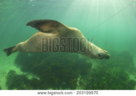 Sea Lion. Australian Sea Lion (Neophoca cinerea)