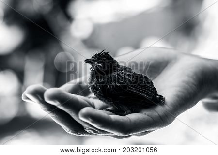 Baby of Red Vented Bulbul sitting on human hand finding his\her Mother.