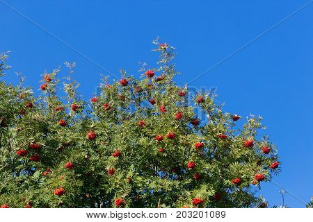 red ashberry on a tree against a blue sky.