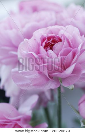 Close-up van Engelse rozen, ondiep dof voor een dromerig effect