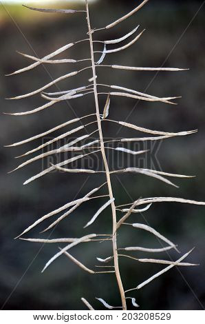 Dry stem ripe pods of rape on a blurred background