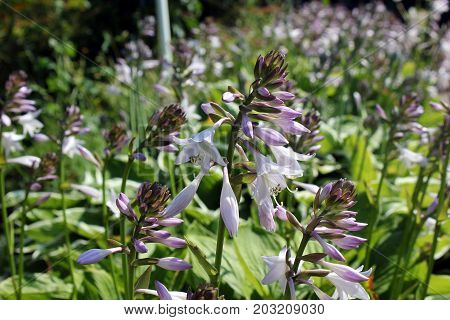 Flower Hosta delicate blossoming inflorescence in green foliage