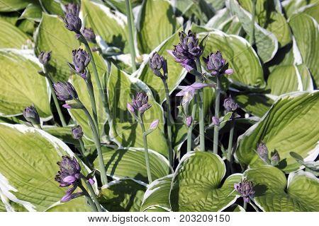 Hosta flower beautiful inflorescences in green leaves
