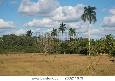 Beauty in the Cuban nature: landscape of lush green foliage surrounding a dried grass patch and Royal Palms in it.