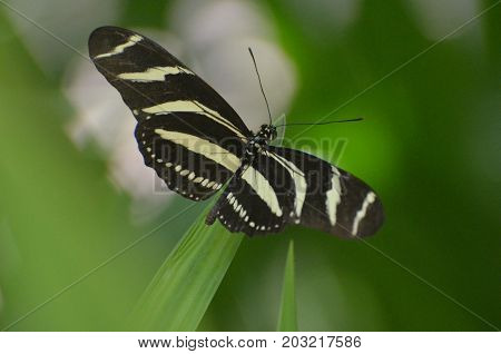 Lovely Wingspan on this Zebra Butterfly on a Leaf